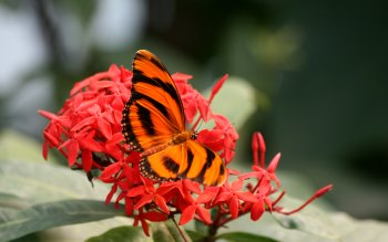 Wallpaper: Beautiful Butterfly on Hot Red Flowers