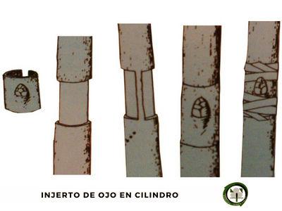 El injerto de cilindro se practica en arboles como la higuera, olivo, nogal