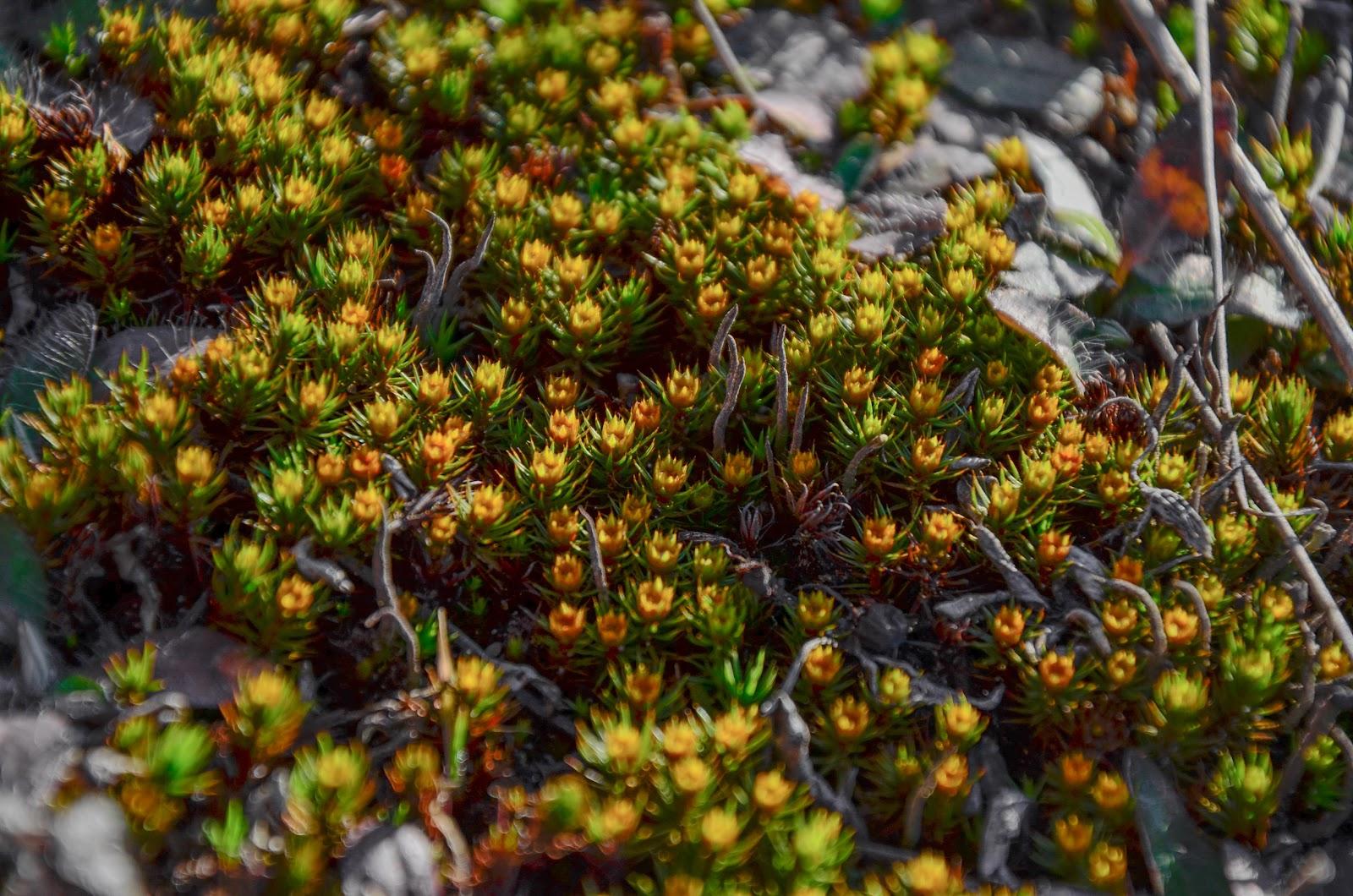 цветущий мох фото и название быть, задорной, веселой
