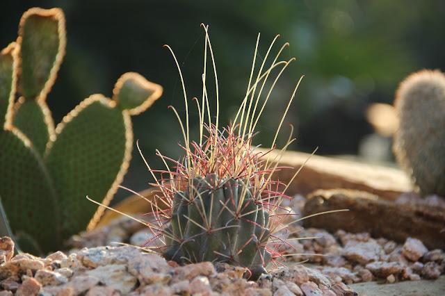 Catclaw Cactus