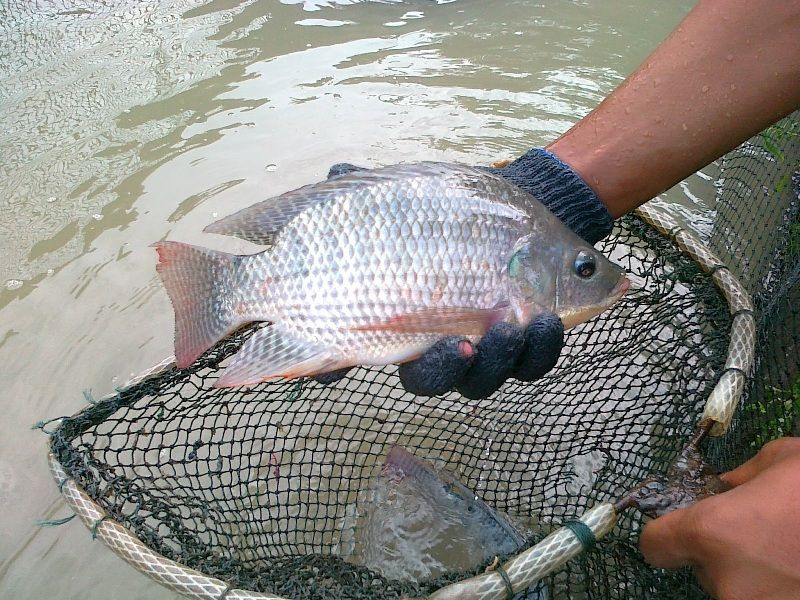 Jenis Jenis Ikan Nila