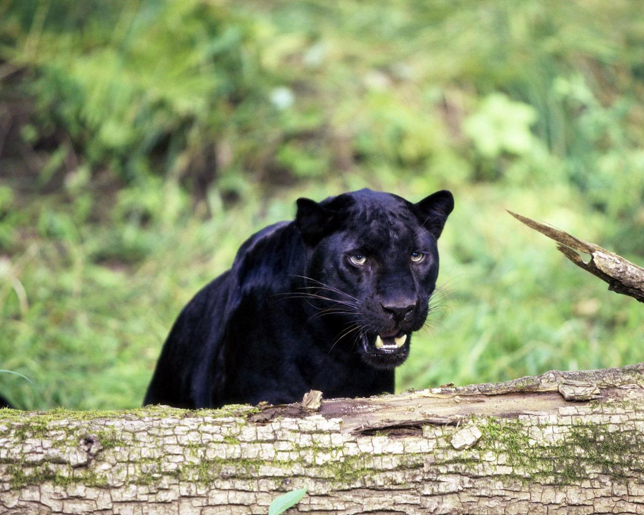 Fotograf 237 As De Panteras Negras Black Panthers Photos