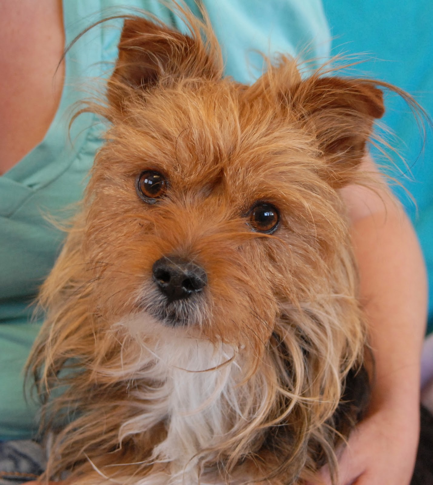yorkshire terrier for adoption gomer a yorkshire terrier for adoption 8188