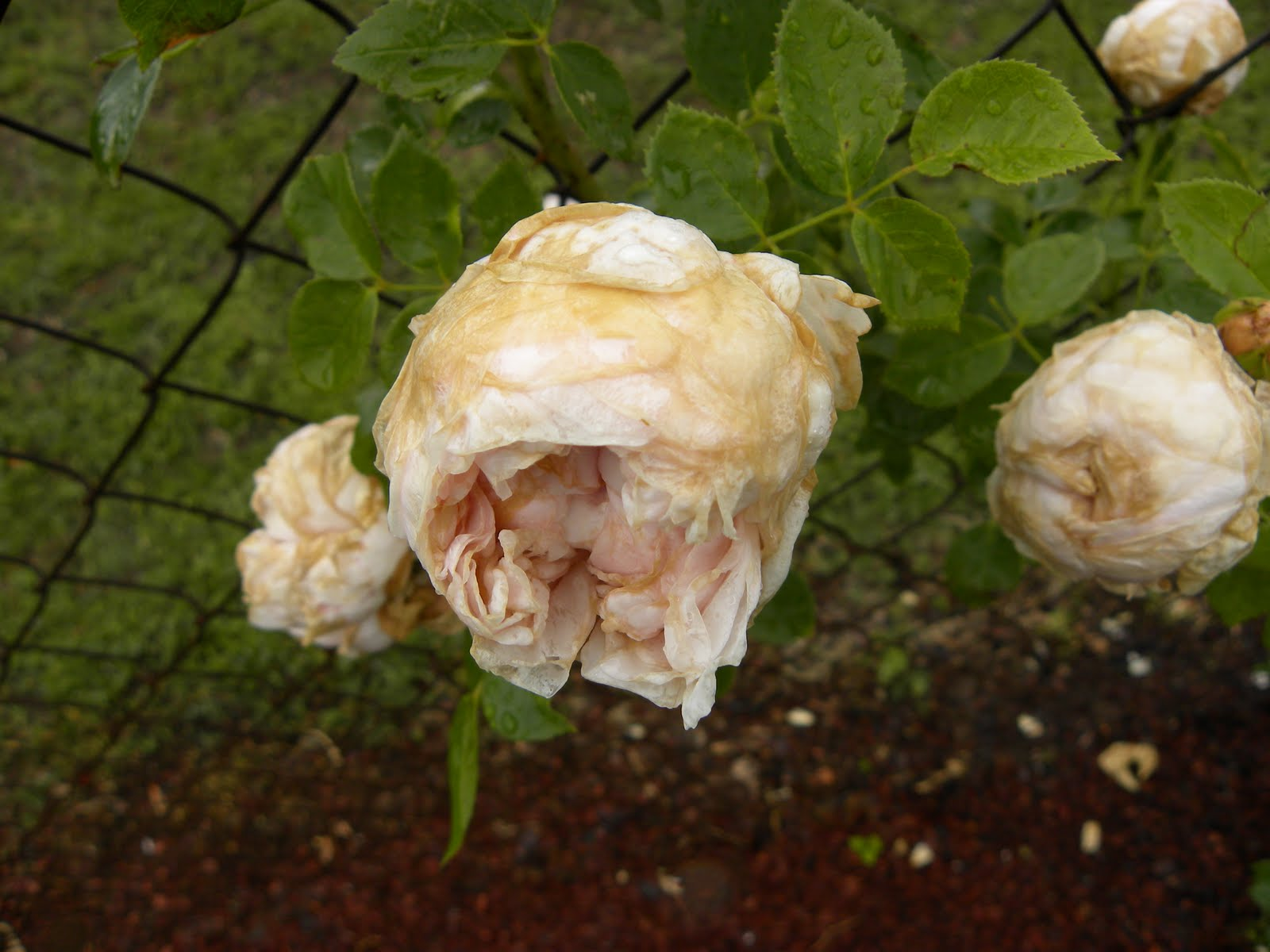 Red Dirt Roses: I Hate Thrips!