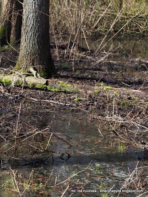rzadkie grzyby, grzybki, wiosna, las bemowski, grzybobranie, grzybowe znaleziska, grzybnieta, bagna, miejsca podmokle, rozlewisko