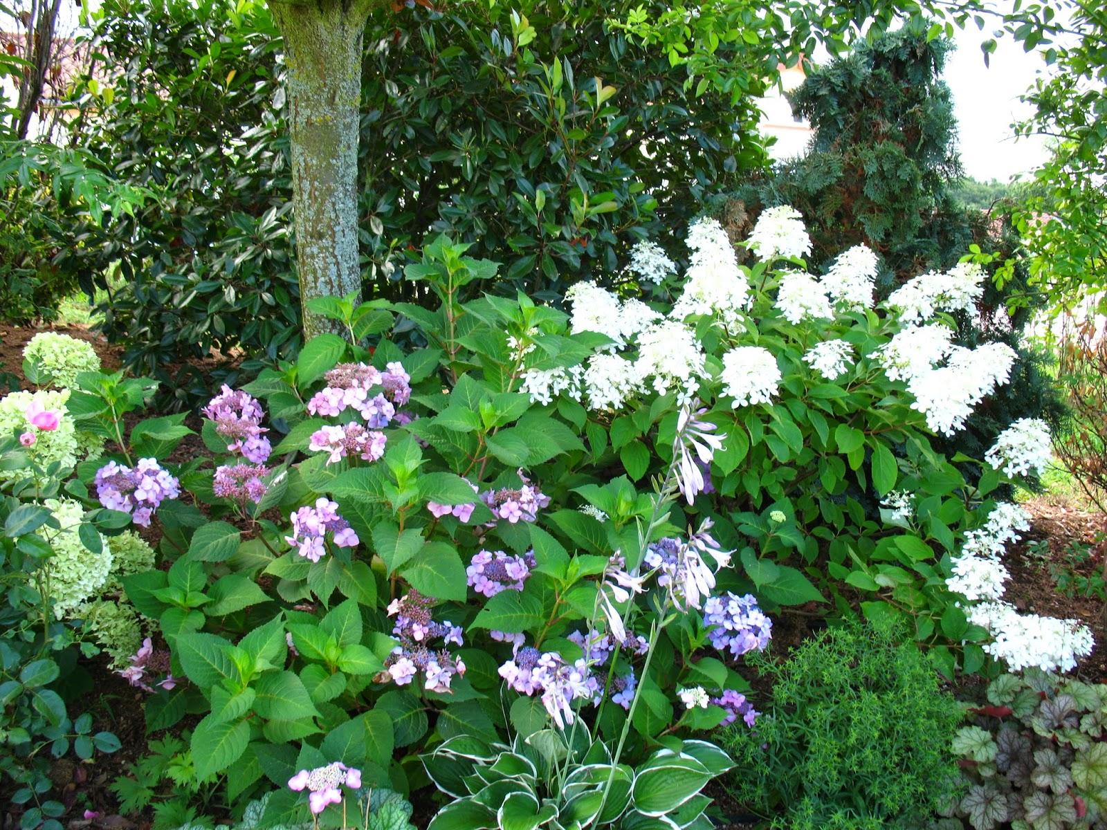 Roses Du Jardin Cheneland Hydrangea Paniculata Great Star