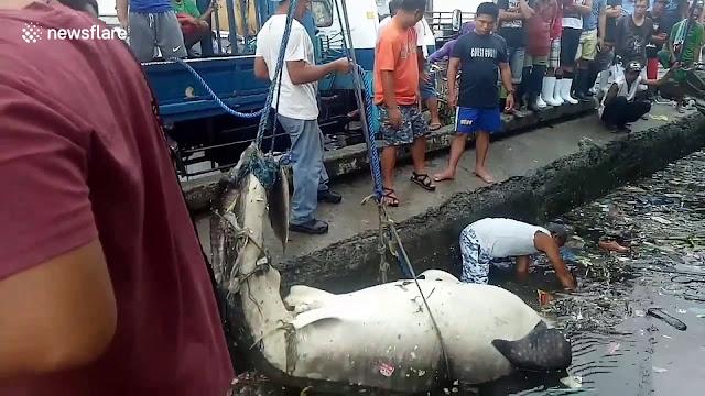 Τεράστιος φαλαινοκαρχαρίας ξεβράστηκε στο λιμάνι της Μανίλα (βίντεο)