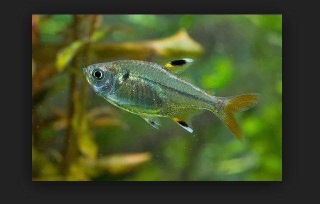 Cara merawat Ikan Glowlight Tetra
