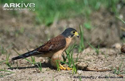 Cernícalo de las Seychelles Falco araea