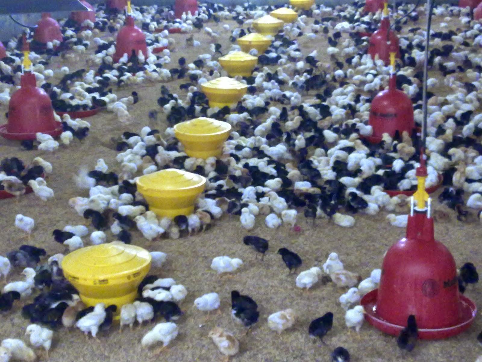 YULIUSKOJAH: Mengungkap Rahasia Sukses Beternak Ayam Jawa ...