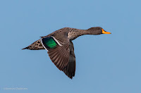 Birds in Flight with Canon EOS 70D: Yellow-Billed Duck