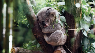 Koala Bear at Zoo