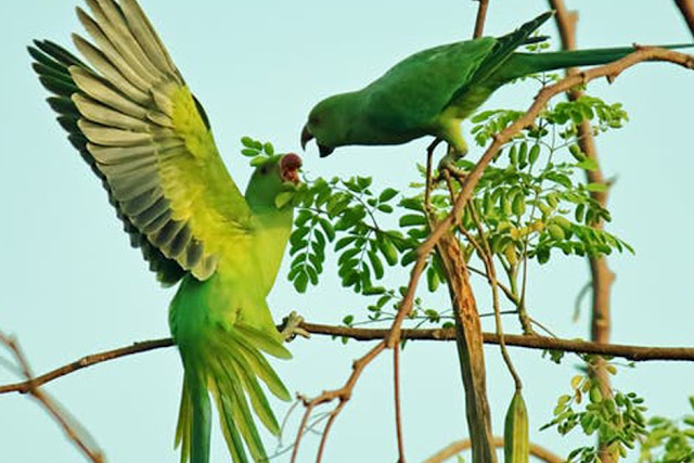 Alexandrine Parrots – Everything You Need To Know About Alexandrine
