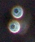 orb rings