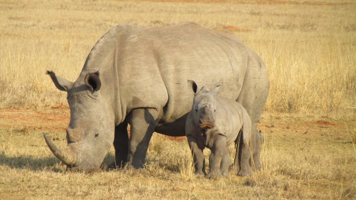 Wallpaper: Mom rhino with cub in Africa