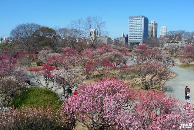 満開の梅の花、舞鶴公園の梅園、福岡市