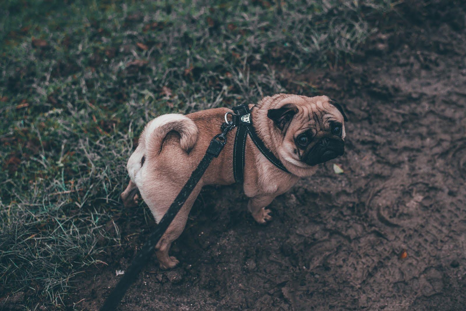 Jak często wychodzić z mopsem na spacer?