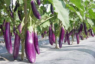 Benefits And Content of Eggplant