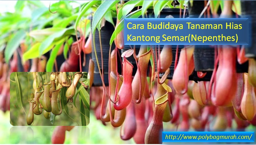 Cara Budidaya Tanaman Hias Kantong Semar(Nepenthes) - Jual Plastik ... fda9a4be13