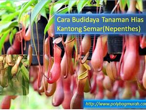 Cara Budidaya Tanaman Hias Kantong Semar(Nepenthes)