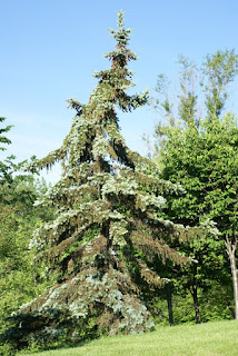 Picea pungens 'Pendula'