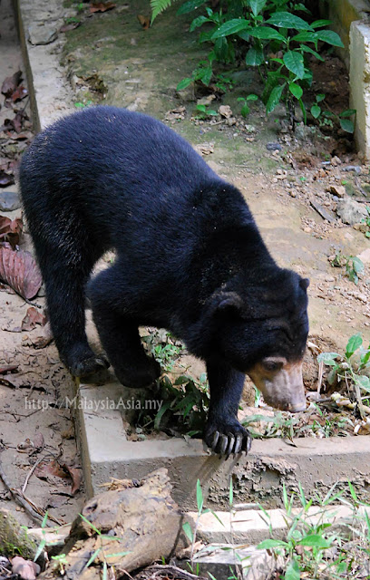 Bornean Sun Bear Photo