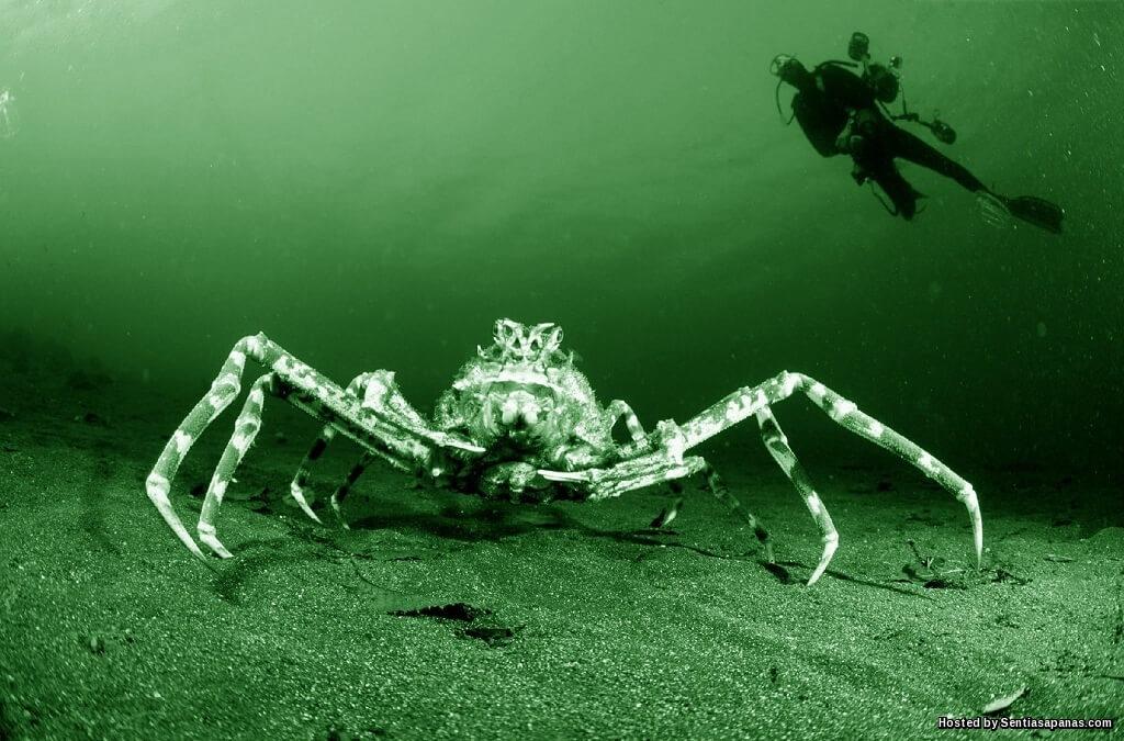 Japanese Spider Ketam Gergasi Paling Besar Di Dunia