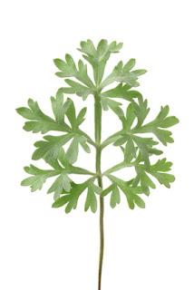 hoja de artemisia absinthium