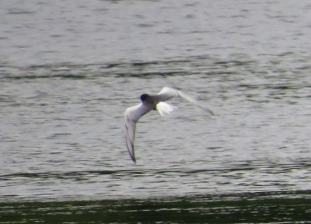 White-winged Black Tern - Leighton Moss, Lancashire