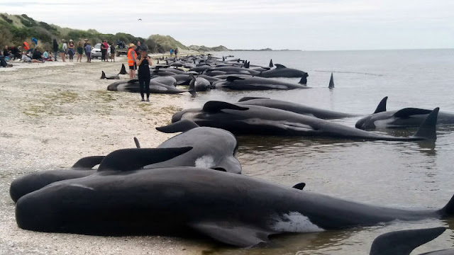 "Largest ""Whale Sentinel"" Beaching In Human History Prompts Russian Navy Evacuation  Iobqahh9fg1yilfqxojv"