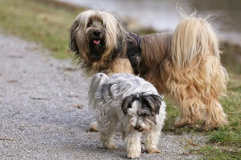 Tibet Terrier Chiru und Biewer Yorkshire Terrier Lotta gemeinsam am Kanal unterwegs.
