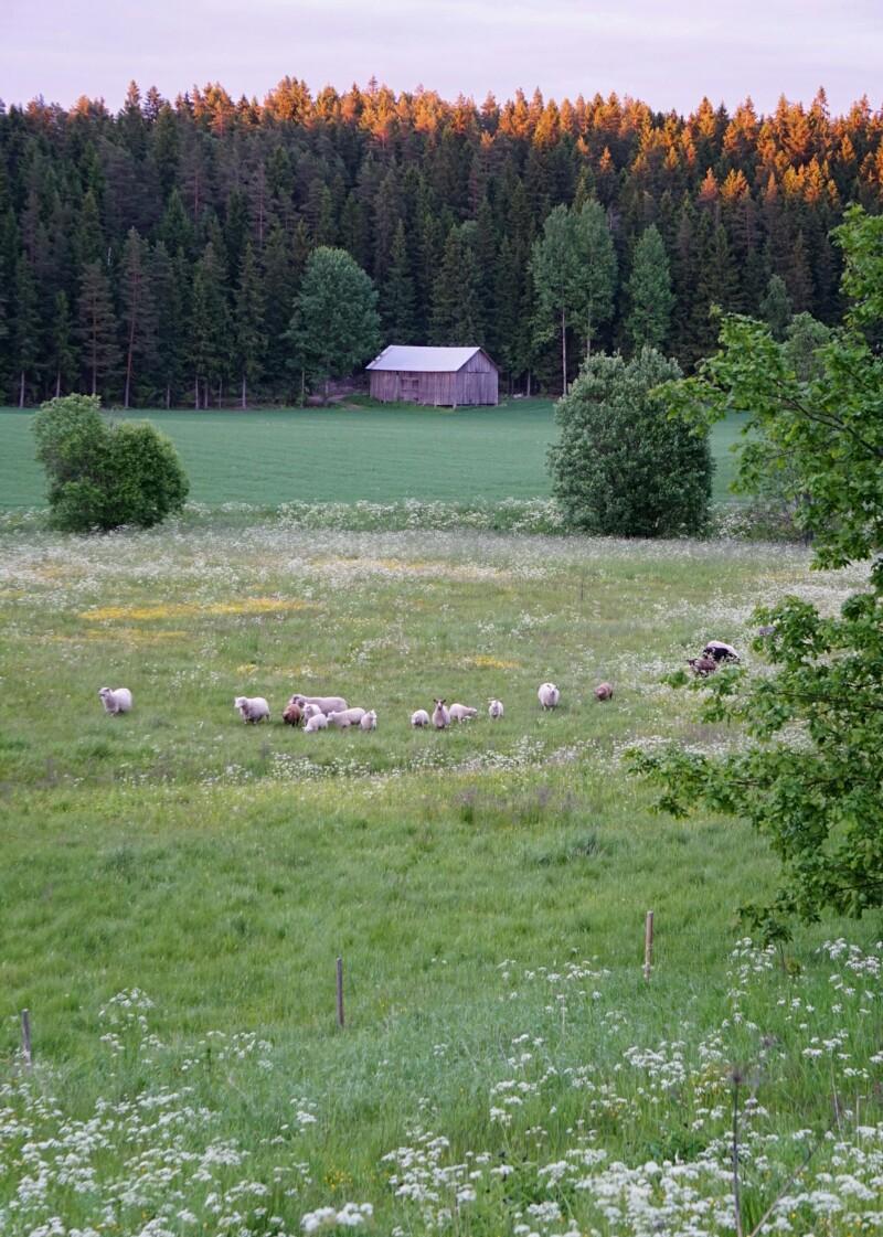 Kesäyö, lammas, lammaslaidun