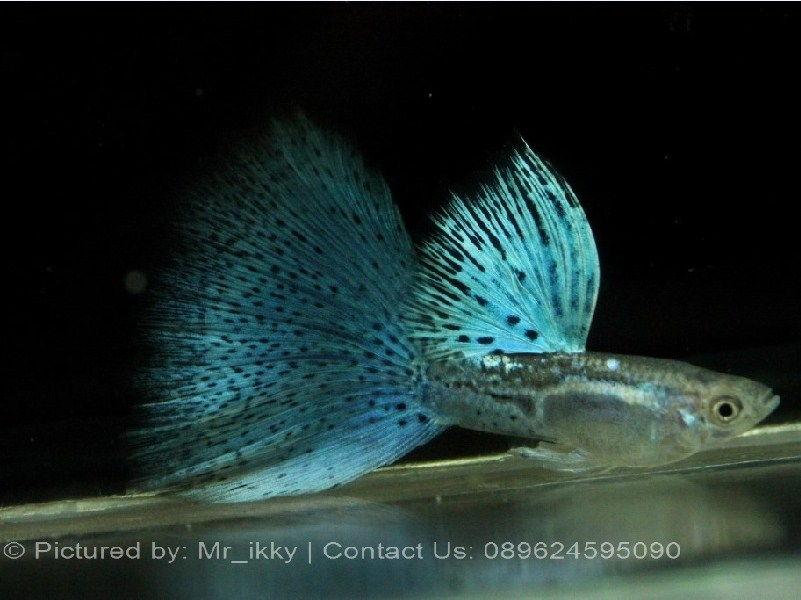 Harga Ikan Guppy Terbaru