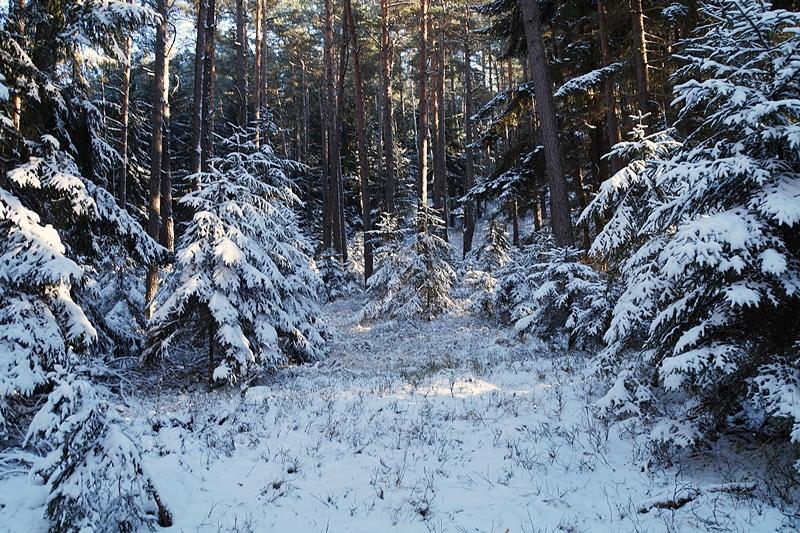 Verschneite Tannen und Bäume im Januarwald | Tasteboykott