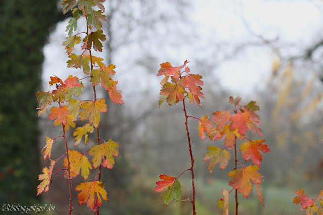 ribes odoratum feuillage automne