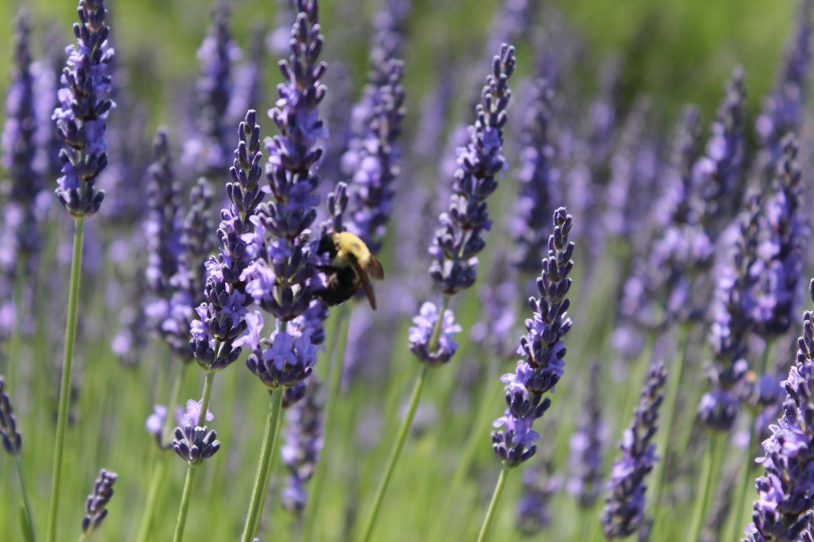 Lavender Nest: Lavender By The Bay Lavender Nest