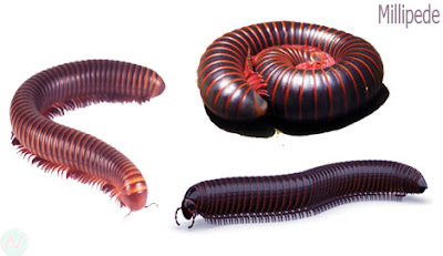 millipede creature