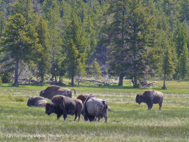 Grupo de Bisontes - Yellowstone National Park por El Guisante Verde Project