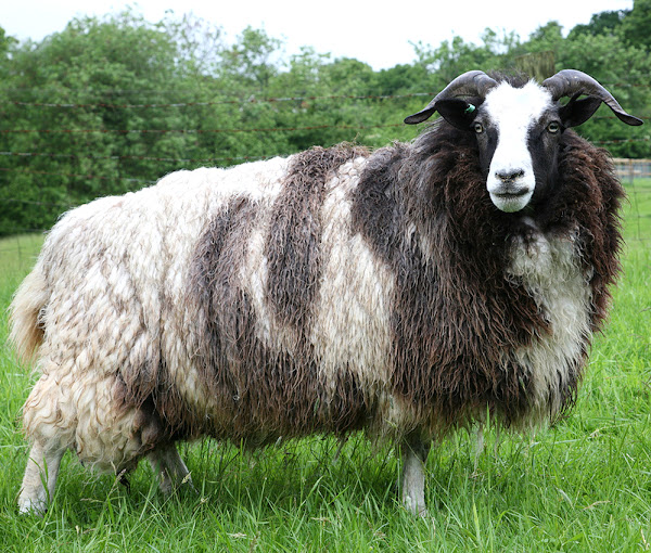 Show Sheep Breeds