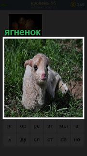 лежит маленький ягненок в траве с удивленными глазами