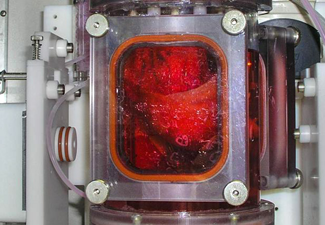 Penelitian Lab-grown lungs successfully transplanted into pigs