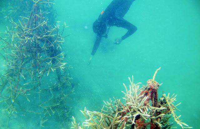 Menjaga Nusantara Terumbu Karang Terus Tumbuh di Segajah