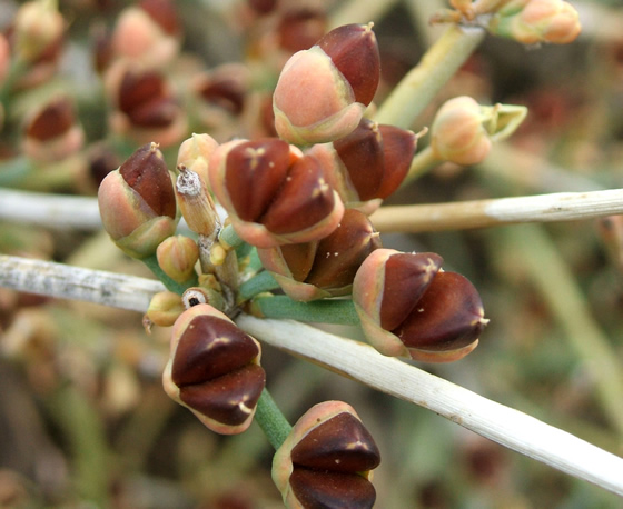 Ephedra fruit