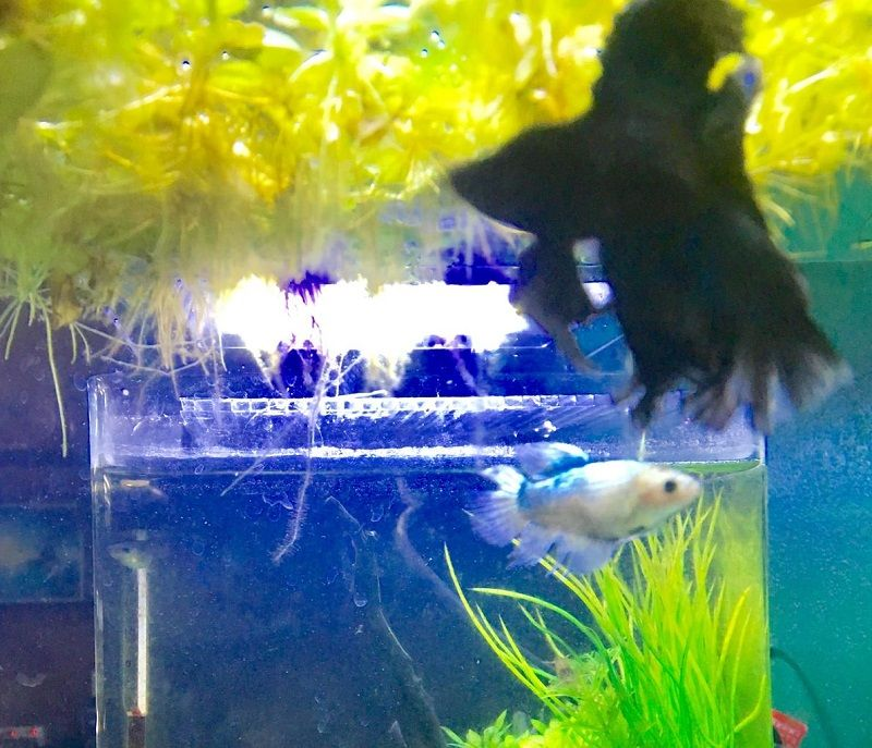 Image The Advantages of Betta Breeding Tank