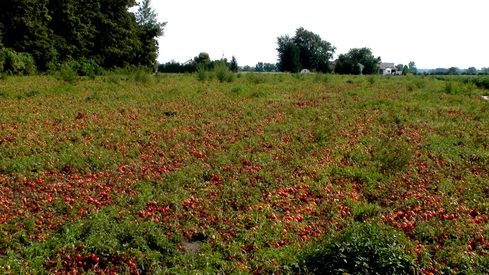 Acres and acres of tomatoes