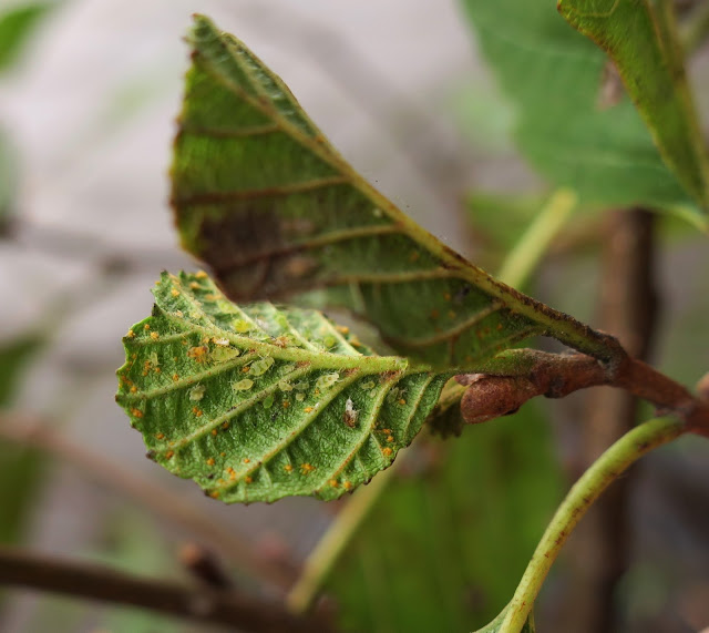 Green Barred Alder aphids on an alder leaf.