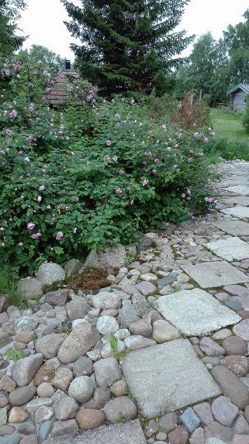 vanhat ruusut kivikko puutarha