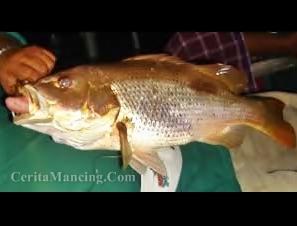 Mancing Ikan Jenahak Monster Ikan Jarang Gigi