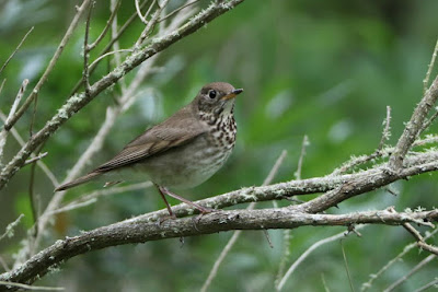Grey cheeked Thrush