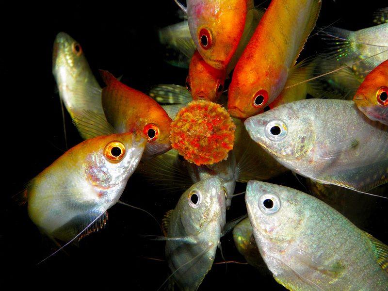 Manfaat ikan sepat sebagai ikan hias